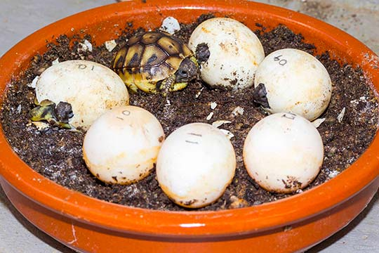 occuper bebes tortues hermann