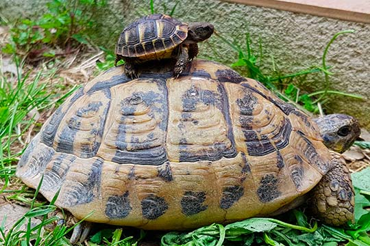 tortue hermann taille adulte