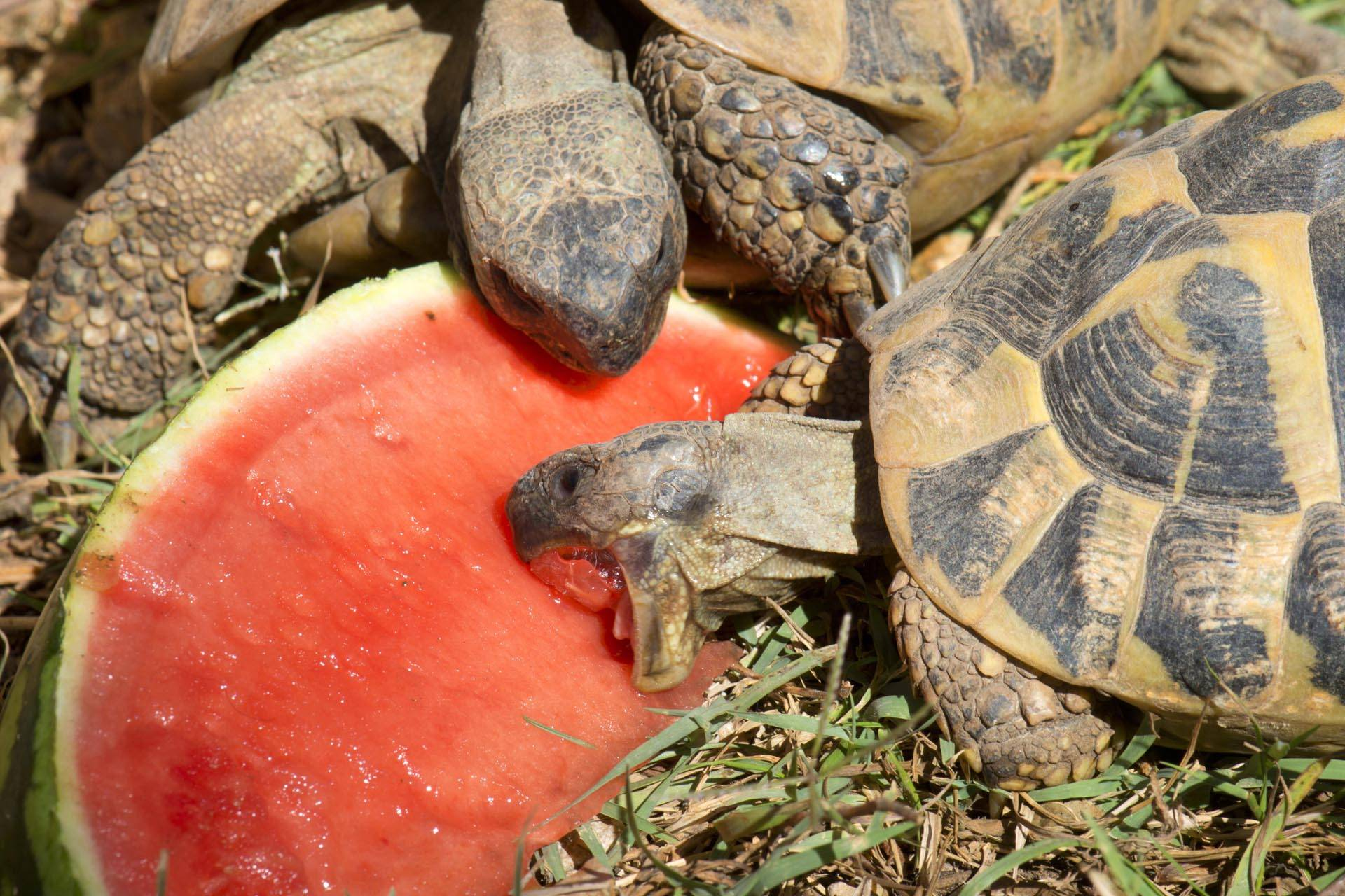 alimentation tortue terre hermann