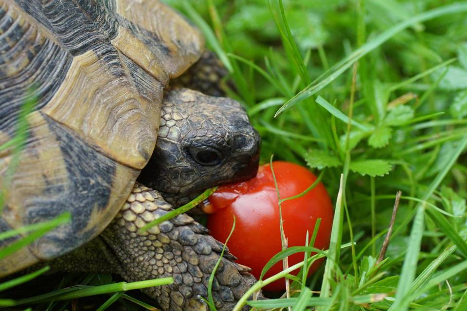 tomate tortue hermann