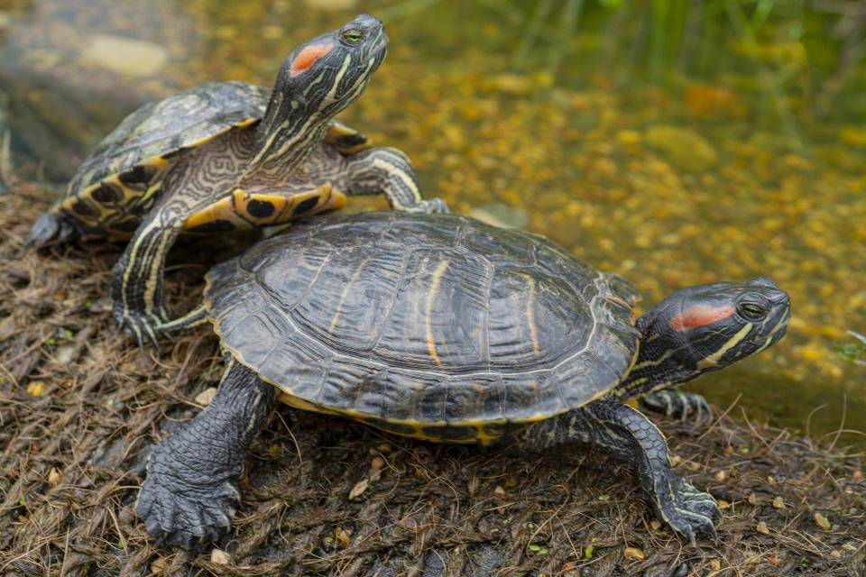 reproduction tortue d'eau