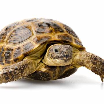 Tortue des Steppes