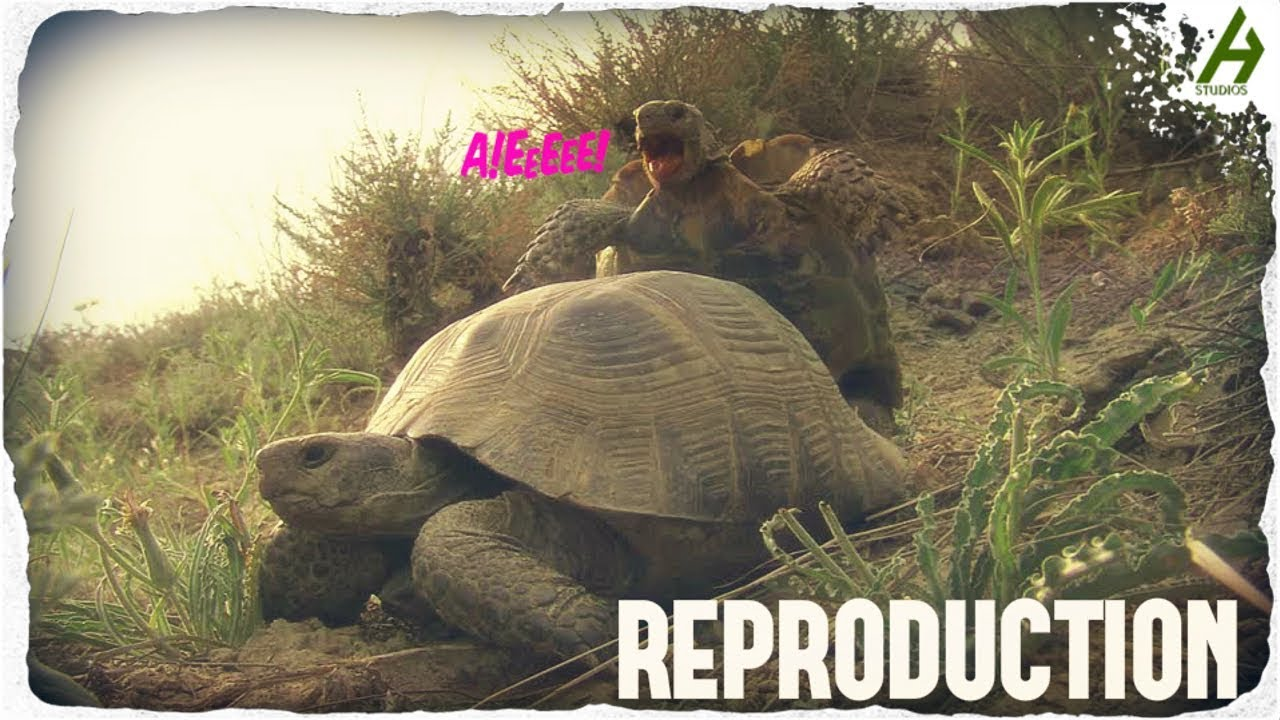 LA REPRODUCTION - L'accouplement des tortues terrestres.