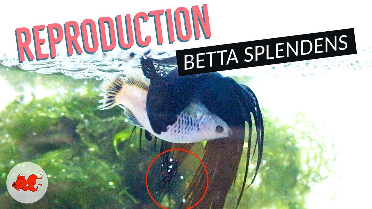 Reproduction Betta Splendens